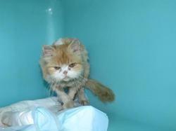 Mika (réservé), Chat croisé / autre (persan) à adopter