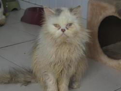 Bacchus, Chat croisé / autre (persan) à adopter