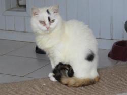 Crocus, Chat croisé / autre (persan) à adopter