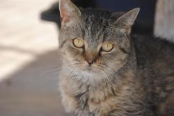 Baltazar, Chat croisé / autre (persan/ europeen) à adopter