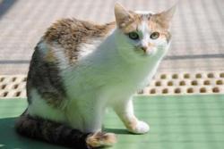 Pastille, Chat europeen à adopter