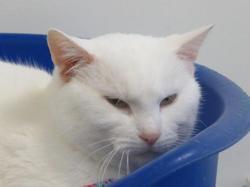 Ravioli, Chat europeen à adopter