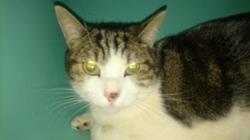 Emilion dit minou, Chat europeen à adopter