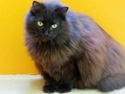 Esmeralda, Chat europeen à adopter