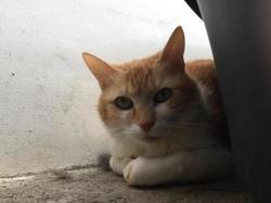Muscade, Chat europeen à adopter