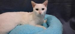Katie hab12580, Chat europeen à adopter