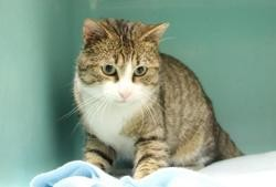 Grenat pab19105, Chat europeen à adopter