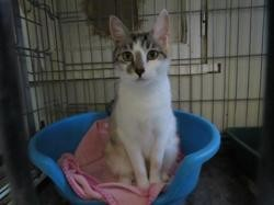 Mele, Chat europeen à adopter