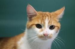 Amedeo, Chat europeen à adopter