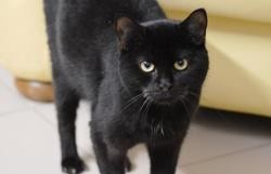 Théa cab6667, Chat europeen à adopter