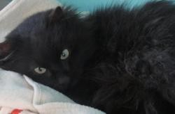 Stanley, Chat europeen à adopter