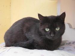 Sadie, Chat europeen à adopter