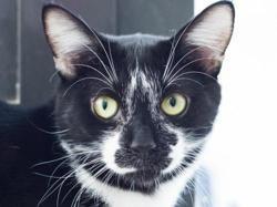 Moustache, Chaton europeen à adopter