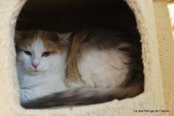 Anaïs, Chat europeen à adopter