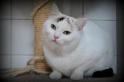 Zoe, Chat europeen à adopter