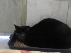 Domac, Chat europeen à adopter