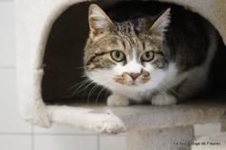 Chipie, Chat europeen à adopter