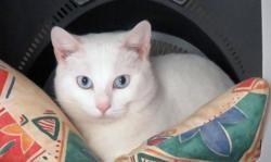 Kaloupilé, Chat europeen à adopter