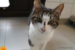 César, Chat europeen à adopter