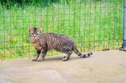Aicha (en placement provisoire), Chat europeen à adopter