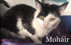 Mohair, Chat europeen à adopter