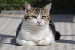 Kiara, Chat europeen à adopter