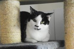 Lalie, Chat europeen à adopter