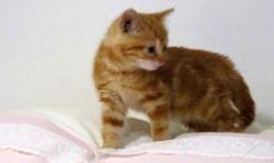 Lemmon, Chat europeen à adopter