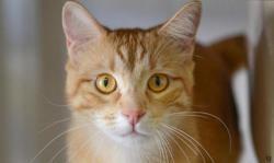 Caramel, Chat europeen à adopter