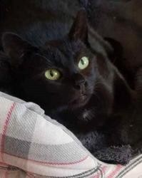 Violette, Chat europeen à adopter