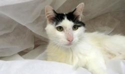 Caruso, Chat europeen à adopter