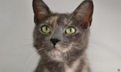 Maxine, Chat europeen à adopter