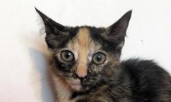 Etna, Chaton europeen à adopter
