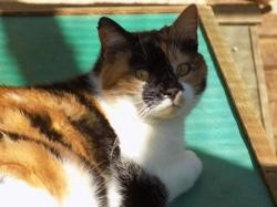 Odelya, Chat europeen à adopter