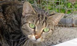 Belle, Chat europeen à adopter