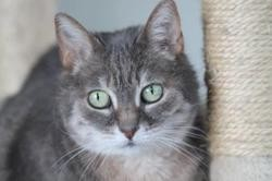 Paulette, Chat europeen à adopter