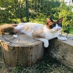 Lagon , Chat europeen à adopter