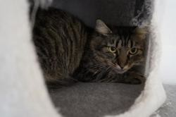 Nacre, Chat europeen à adopter