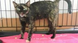 Framboise, Chat europeen à adopter