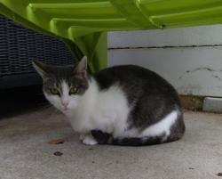 Felie, Chat europeen à adopter