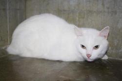 Kiwi, Chat europeen à adopter