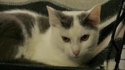 Filou, Chat europeen à adopter