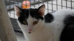 Frimousse, Chat europeen à adopter