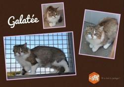 Galatee, Chat europeen à adopter