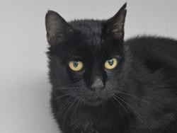 Oxymore cha11672, Chat europeen à adopter