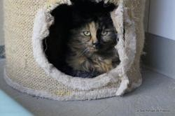 Caprice, Chat europeen à adopter