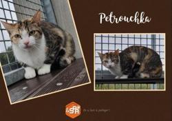 Petrouchka, Chat europeen à adopter