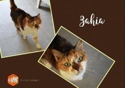 Zahia, Chat europeen à adopter