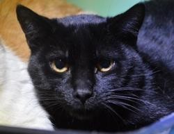 Pouembout cha11529, Chat europeen à adopter