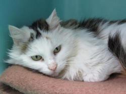 Rosana, Chat europeen à adopter